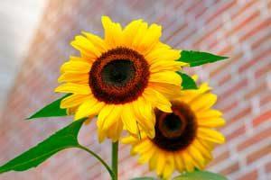 sunflower-flowers-bright-yellow-46216